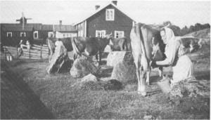 Amanda Rosina Helin mjölkar sina kor 1923